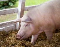 Large white swine on farm Stock Image