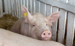 Large white swine on farm Royalty Free Stock Photos