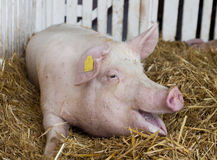 Large white swine in pen Stock Image