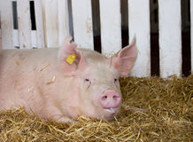 Large white swine in pen Royalty Free Stock Photography