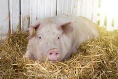 Large white swine in pen Stock Images