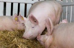 Large white swine in pen Stock Photo