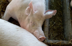 Large white swine sleeping on straw Stock Photography