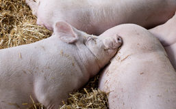 Large white swine sleeping on straw Royalty Free Stock Photo