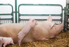 Large white swine  whith piglets in pen Stock Photo