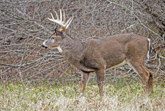 Large White Tailed Buck showing his antlers. Stock Image
