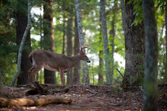 Large white-tailed deer buck. Large whitetail deer buck walking through the woods Royalty Free Stock Photography