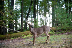 Large white-tailed deer buck. Large whitetail deer buck in the woods Royalty Free Stock Image