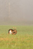 Large white-tailed deer buck in foggy meadow Royalty Free Stock Photos