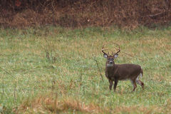 Large white-tailed deer buck stock image