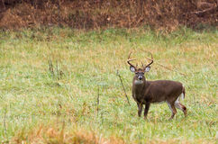 Large white-tailed deer buck Royalty Free Stock Images