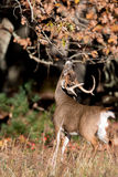Large white-tailed deer buck royalty free stock photo