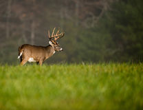 Large white-tailed deer buck Royalty Free Stock Photography