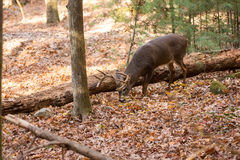 Large white-tailed deer buck in woods. Large whitetailed deer buck grazing in the woods in Tennessee Stock Photography