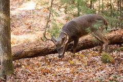 Large white-tailed deer buck in woods. Large whitetailed deer buck grazing in the woods in Tennessee Stock Photos