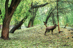 Large white-tailed deer standing near the tree, nice autumn back stock images