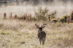 Large White tailed Deer Trophy Buck near Misty pond royalty free stock photos