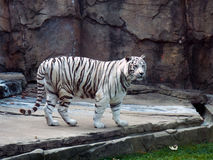 large white tigar Royalty Free Stock Image