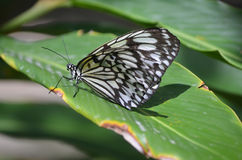 Large White Tree Nymph Butterfly Sitting on a Green Leaf. Large white tree nymph butterfly positioned on a green leaf Stock Photo