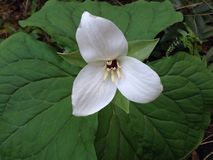 Large White Trillium Royalty Free Stock Image