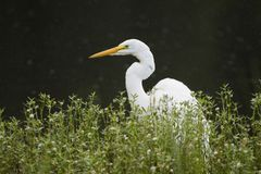 White Great Egret bird, Walton County, Georgia USA Stock Photos