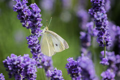 Large White (Pieris brassicae) on the lavender in summer Stock Photography
