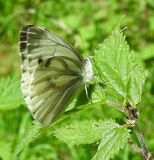 Large White (?) butterfly Stock Images