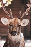 Large whitetail buck Royalty Free Stock Images