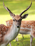 Large whitetail buck Royalty Free Stock Photos