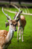 Large whitetail buck Stock Photography