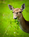 Large whitetail buck Stock Image