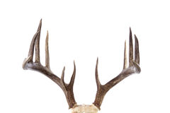 Large whitetail buck antlers isolated on white Royalty Free Stock Photo