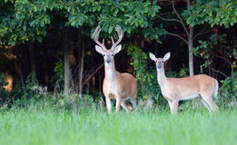 Large whitetail buck and doe Royalty Free Stock Photo