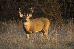 This large Kansas Whitetail Buck was searching for doe`s along a tree line in late Autumn. royalty free stock images
