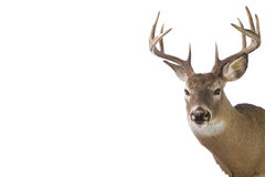 Large whitetail buck isolated on white