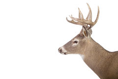 Large whitetail buck isolated on white Royalty Free Stock Photography