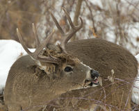 Large Whitetail Buck Royalty Free Stock Photography