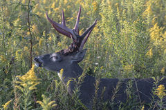 Large whitetail buck in wildflowers Stock Photo