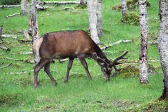 Large whitetail deer buck in the woods. Of Norway Royalty Free Stock Images