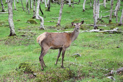 Large whitetail deer buck in the woods Royalty Free Stock Images