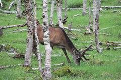 Large whitetail deer buck in the woods Royalty Free Stock Image