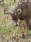 Large Whitetail Deer Stock Photos