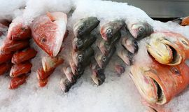Large whole red snapper on ice at fish market. Large whole red snapper fish heads on a tray with ice at seafood market Royalty Free Stock Photo