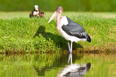 Large wild bird. A large wild bird standing in water.  Possibly a pelican Stock Images