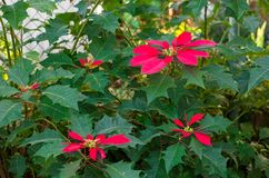 Beautiful Wild Poinsettia Growing in Cuba. Large wild blooming poinsettia growing in a garden in Cuba stock images