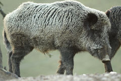 Large wild boar at dawn Stock Image