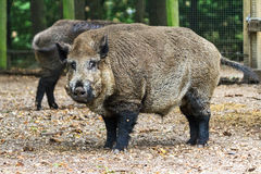 Large wild boar Royalty Free Stock Image