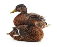 Large wild ducks. Royalty Free Stock Photography