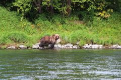 Large wild bear walks by river stock photos