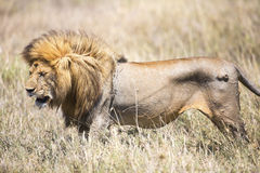 Large wild male lion in Serengeti Royalty Free Stock Images